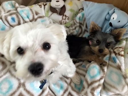 Yorkshire terrier and Maltese dog